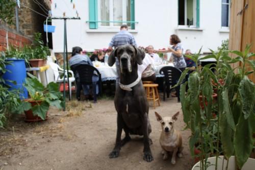 ce n'est pas un mastiff  mais un dogue allemand - Page 3 Img_8319