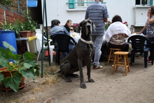 ce n'est pas un mastiff  mais un dogue allemand - Page 3 Img_8320