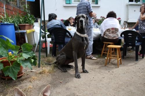 ce n'est pas un mastiff  mais un dogue allemand - Page 3 Img_8321
