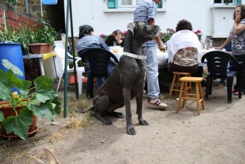 ce n'est pas un mastiff  mais un dogue allemand - Page 3 Img_8322