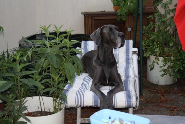 ce n'est pas un mastiff  mais un dogue allemand - Page 3 Img_8421