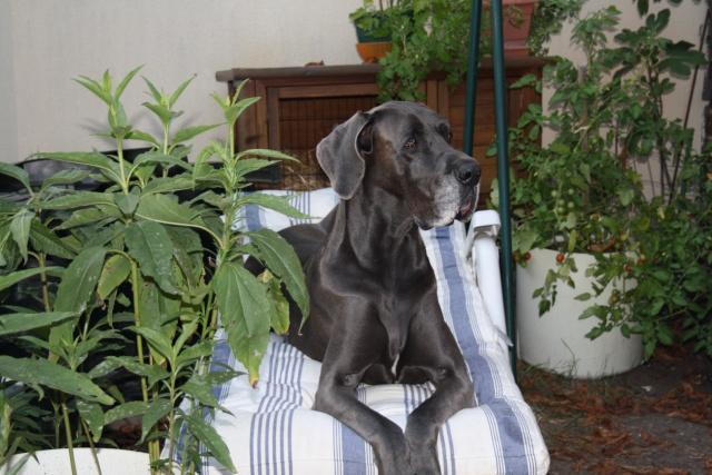 ce n'est pas un mastiff  mais un dogue allemand - Page 3 Img_8422