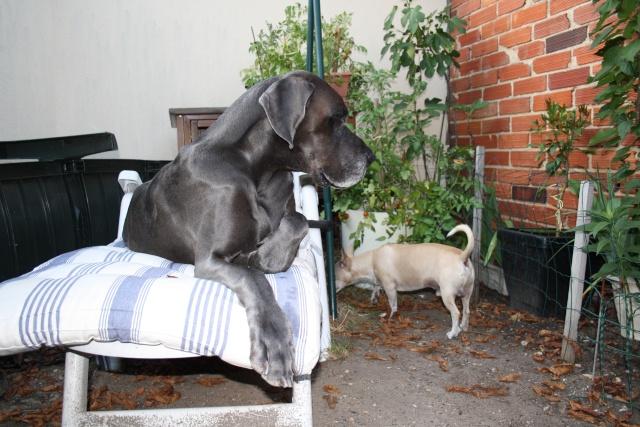 ce n'est pas un mastiff  mais un dogue allemand - Page 3 Img_8424