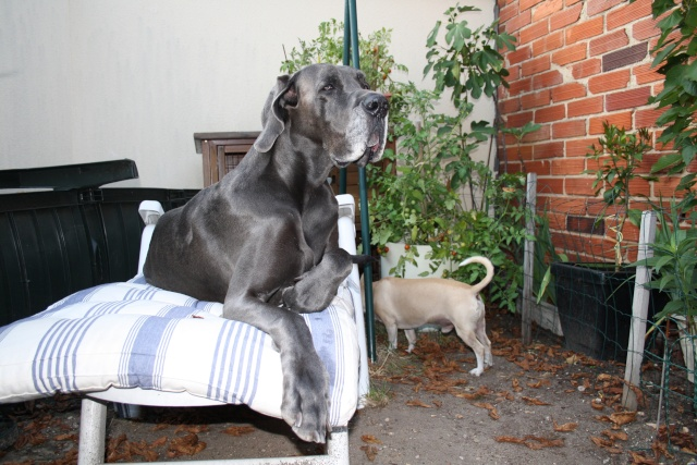 ce n'est pas un mastiff  mais un dogue allemand - Page 3 Img_8425