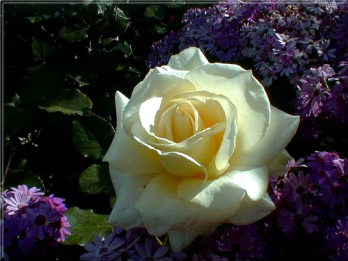 وردة بلون القوس قزح 610