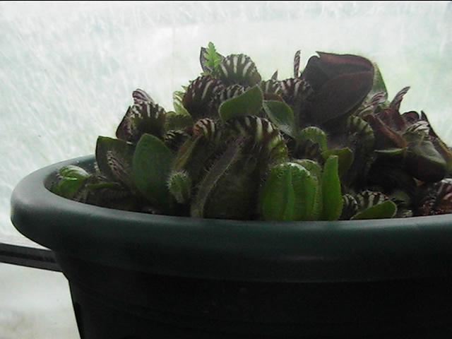 plante carnivore Pic_0171
