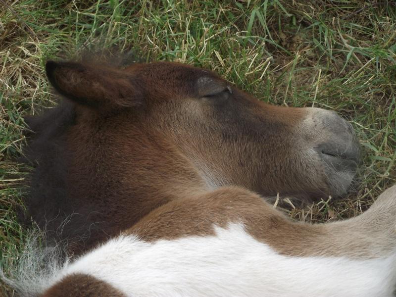 GUIZMO - Shetland  né en 2011 - Adopté en décembre 2011 par jennyetdiego Dscf2110