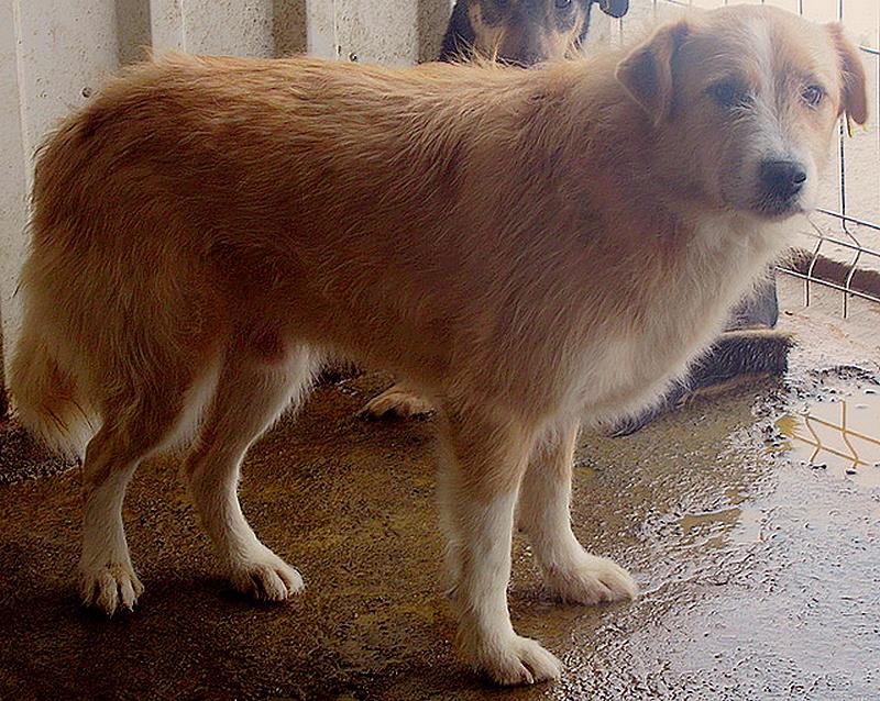 BERLIOZ - PLUS DE 4 ANS DE box !! mâle croisé de taille moyenne, né environ en juin 2011 ( PASCANI ) - REMEMBER ME LAND - Adopté par Marylene (28)  - Page 6 Berlio16