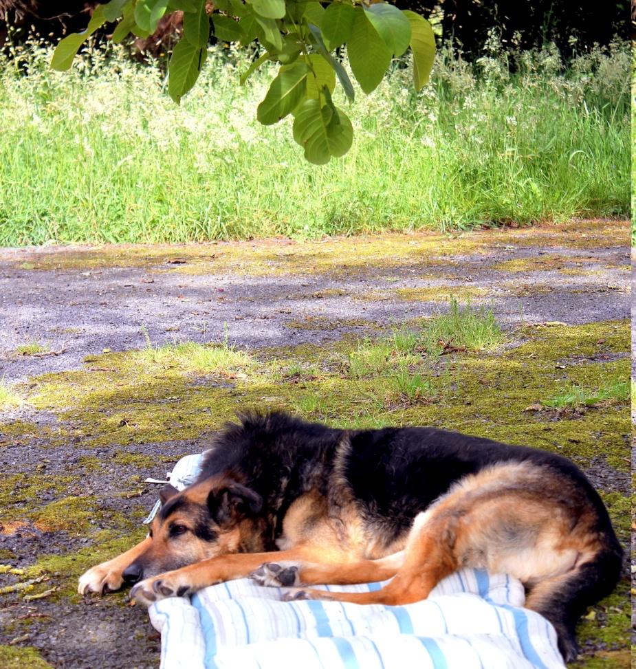 ENEE - mâle croisé Berger Allemand de taille grande, né environ août 2008 (PASCANI) - En FALD chez LiliDG (14) - Page 40 Img_0318
