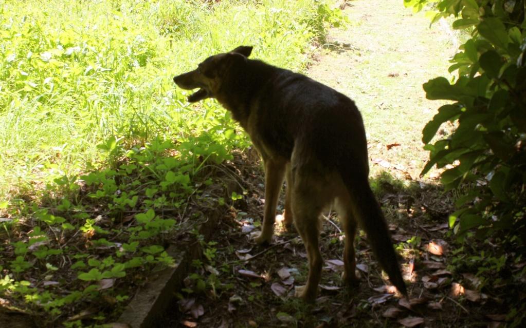 ENEE - mâle croisé Berger Allemand de taille grande, né environ août 2008 (PASCANI) - En FALD chez LiliDG (14) - Page 40 Img_0411