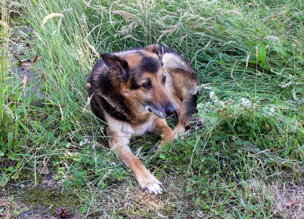 ENEE - mâle croisé Berger Allemand de taille grande, né environ août 2008 (PASCANI) - En FALD chez LiliDG (14) - Page 40 Img_0510