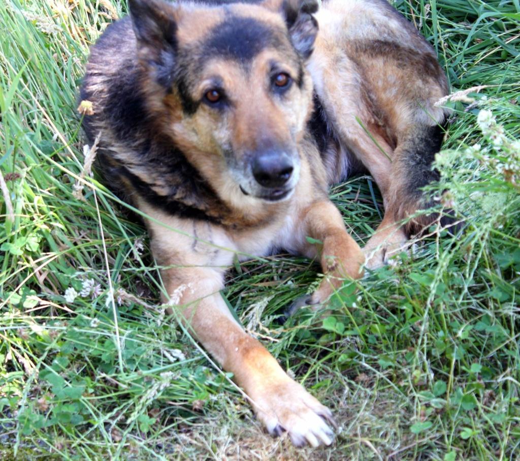 ENEE - mâle croisé Berger Allemand de taille grande, né environ août 2008 (PASCANI) - En FALD chez LiliDG (14) - Page 40 Img_0512