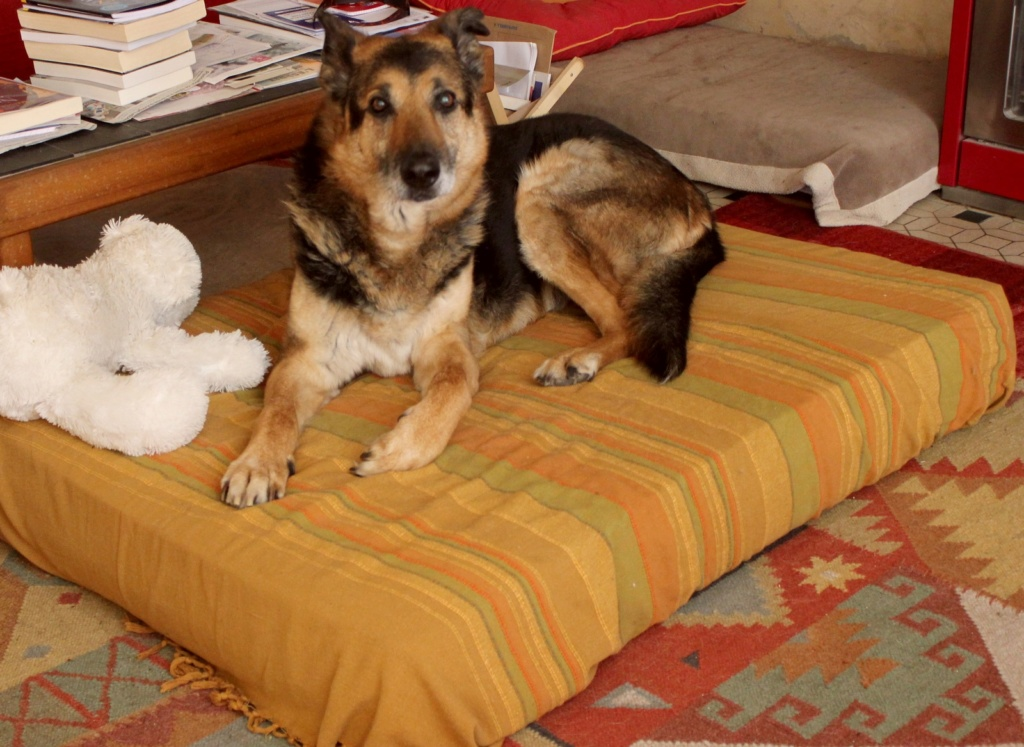 ENEE - mâle croisé Berger Allemand de taille grande, né environ août 2008 (PASCANI) - En FALD chez LiliDG (14) - Page 42 Img_0632