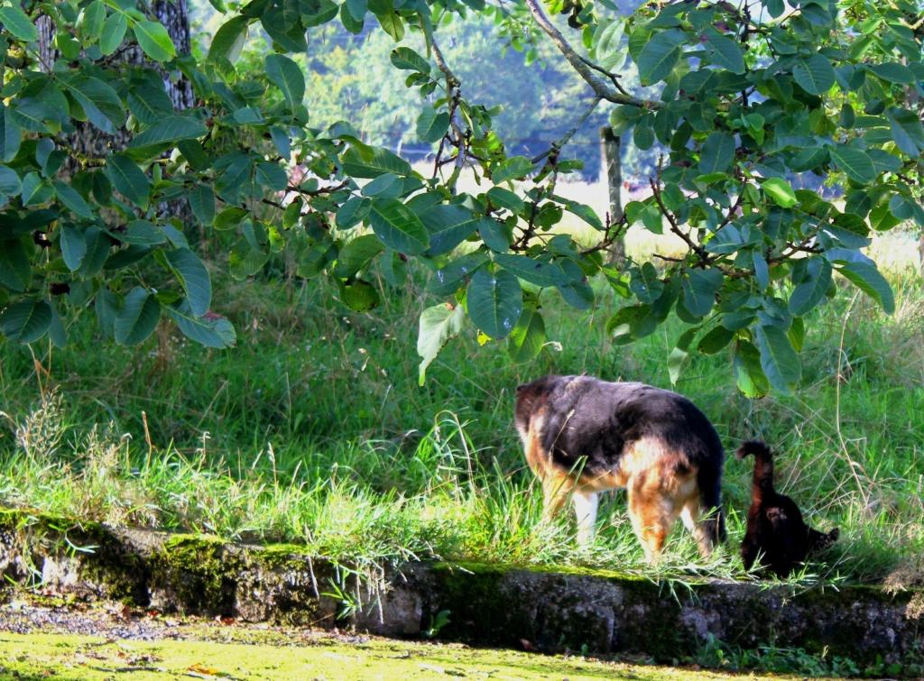 ENEE - mâle croisé Berger Allemand de taille grande, né environ août 2008 (PASCANI) - En FALD chez LiliDG (14) - Page 42 Img_0714