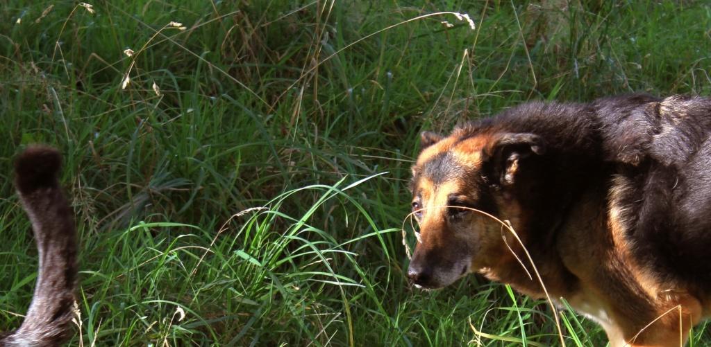 ENEE - mâle croisé Berger Allemand de taille grande, né environ août 2008 (PASCANI) - En FALD chez LiliDG (14) - Page 42 Img_0716