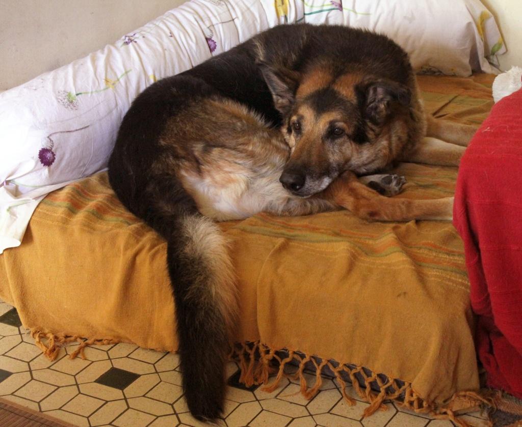 ENEE - mâle croisé Berger Allemand de taille grande, né environ août 2008 (PASCANI) - En FALD chez LiliDG (14) - Page 42 Img_0725