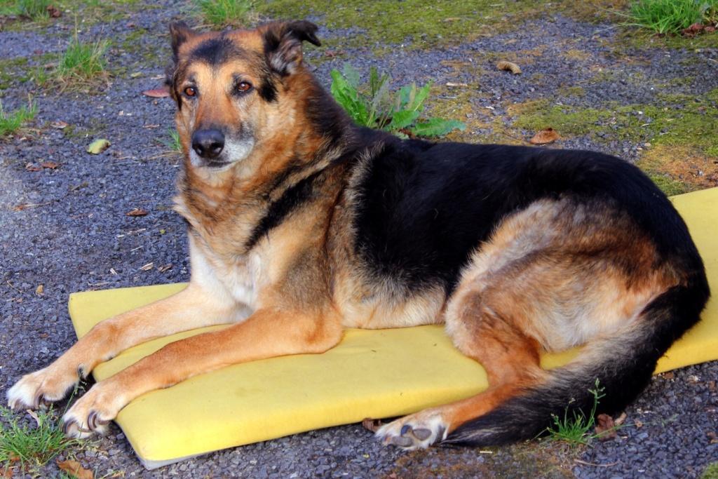 ENEE - mâle croisé Berger Allemand de taille grande, né environ août 2008 (PASCANI) - En FALD chez LiliDG (14) - Page 42 Img_0727