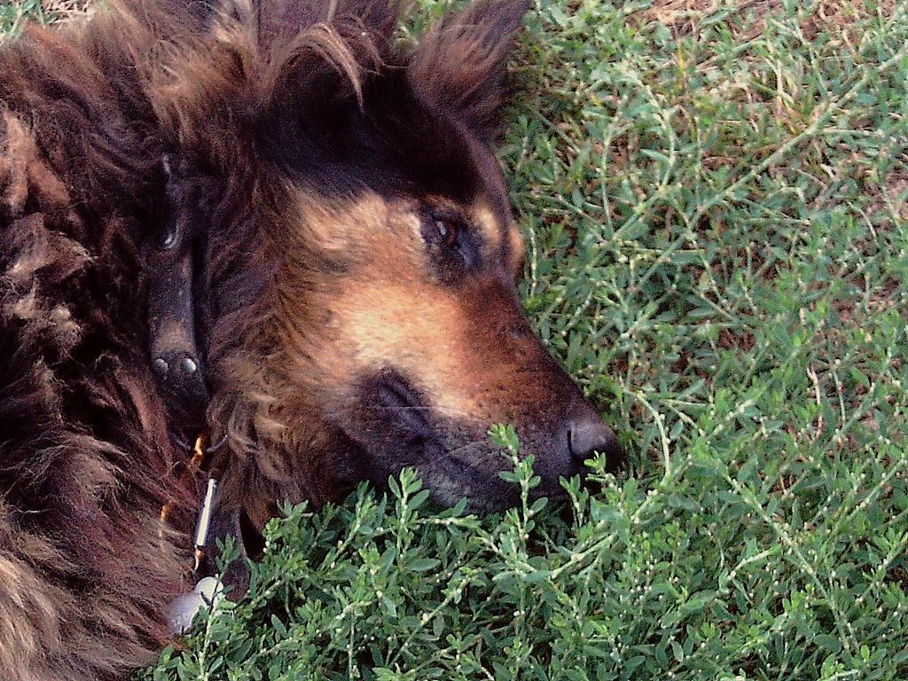 ORGANZA, femelle croisée berger allemand âgée taille moyenne née environ 2002 (Pascani)- REMEMBER ME LAND - En FALD chez lakota03 (03)-Decedee - Page 9 Organz10