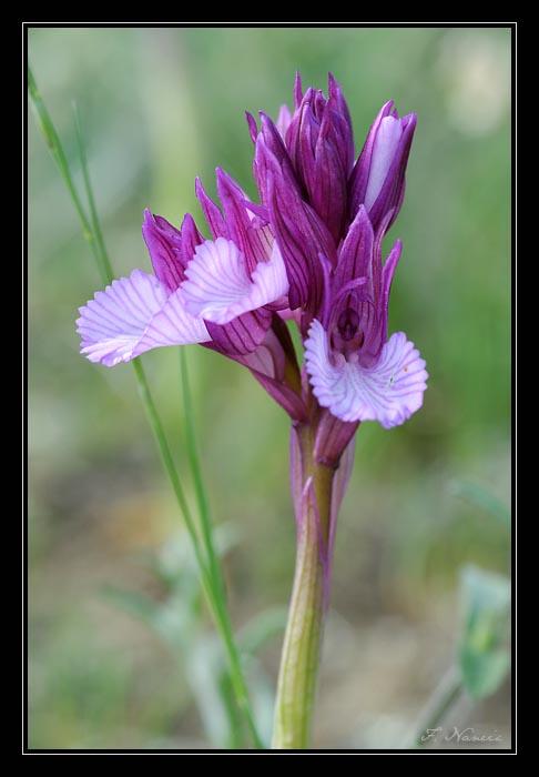 Anacamptis papilionacea (Orchis papillon ) 20080511