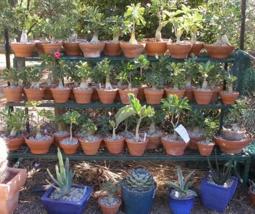 Show us  your cacti Adeniu10