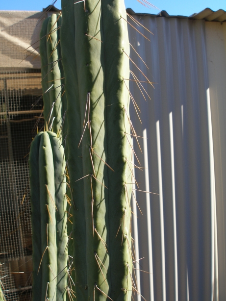 Another one is it T. Bridgesii ?? Bruces22