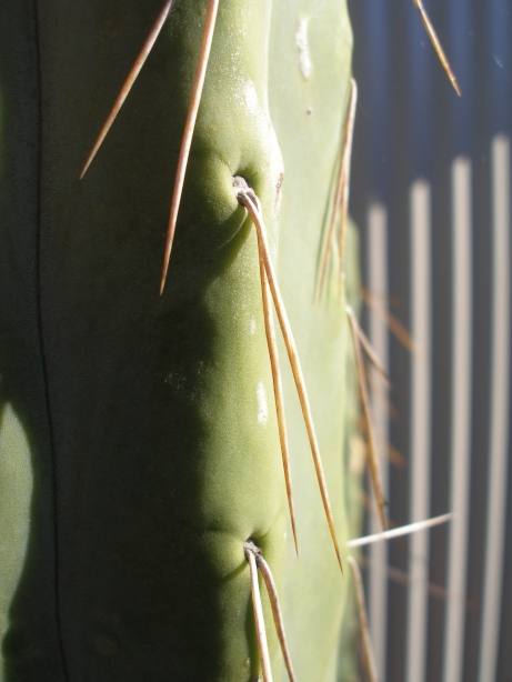 Another one is it T. Bridgesii ?? Bruces23