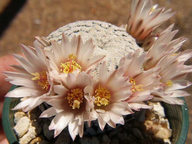 spring cacti flowers - Page 3 M_pect10