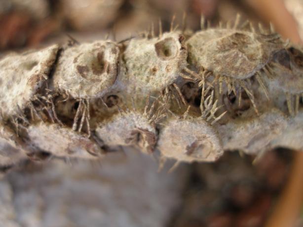 Myrmecodia platytyrea 'Ant Plant' Myrmec12