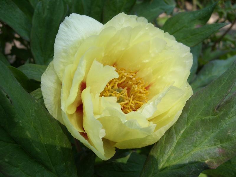 Paeonia suffruticosa (Pivoine arbustive) Pivoin10