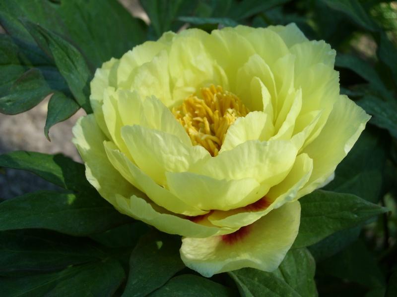 Paeonia suffruticosa (Pivoine arbustive) Pivoin11