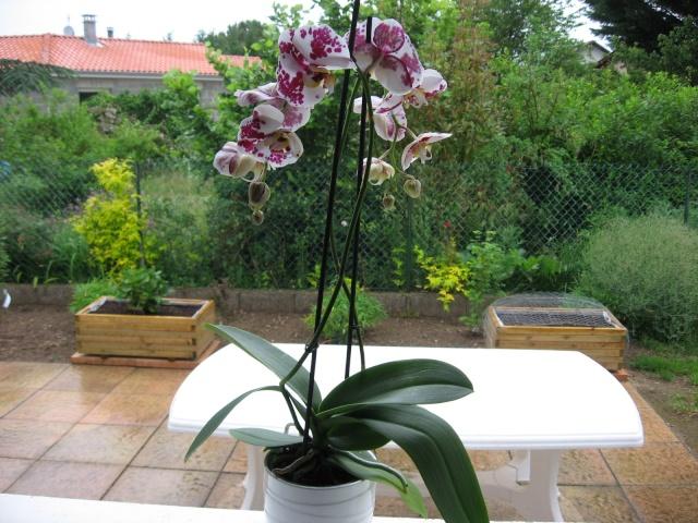 Ma première orchidée! Orchid14