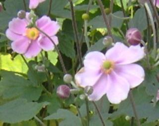 J'ai des Anemones du Japon à donner Anemon10