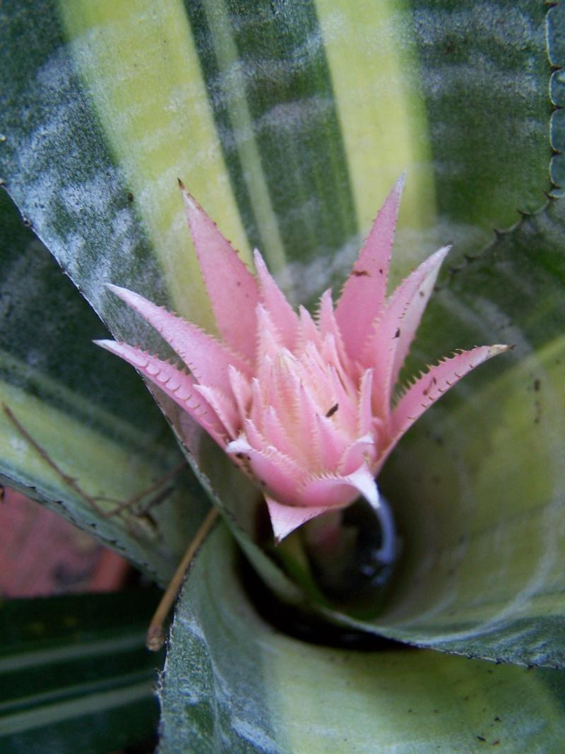 Aechmea fasciata medio picta (variegata) 100_0535