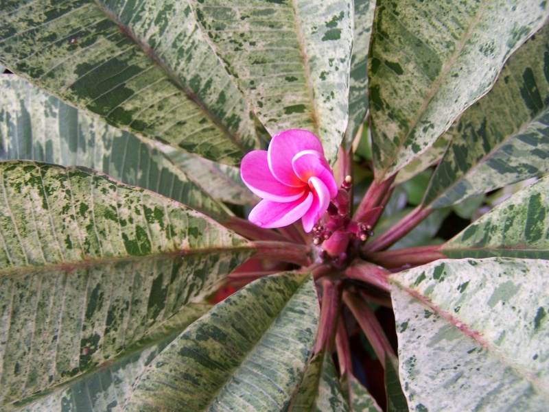 "Plumeria ""Maya"" 100_0713"