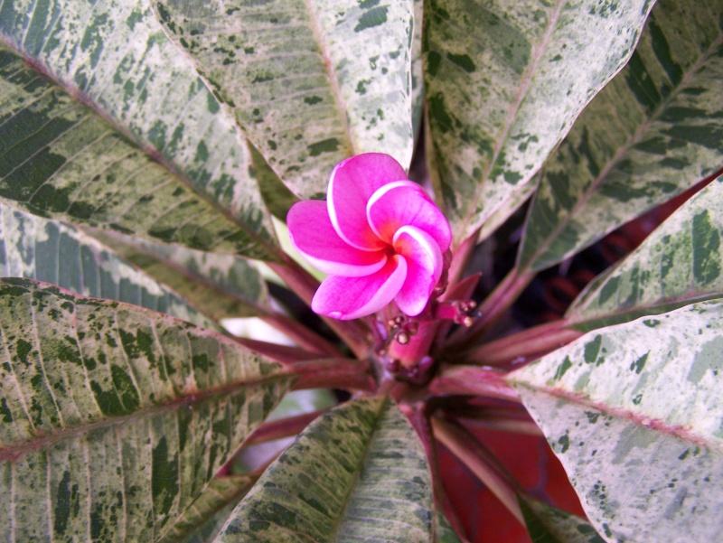 "Plumeria ""Maya"" 100_0714"