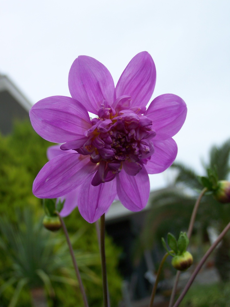 Dahlia imperialis - Page 4 100_0722