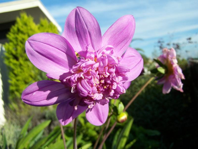 Dahlia imperialis - Page 4 100_0726