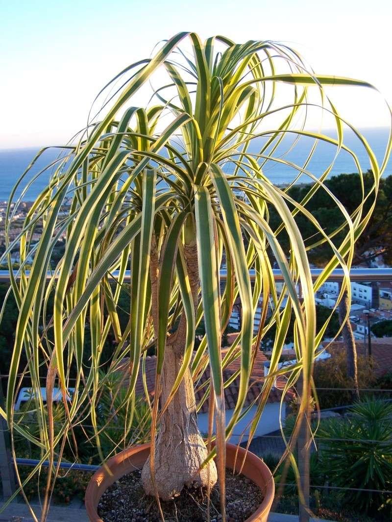 Beaucarnea variegata - variegated beaucarnea 100_0729