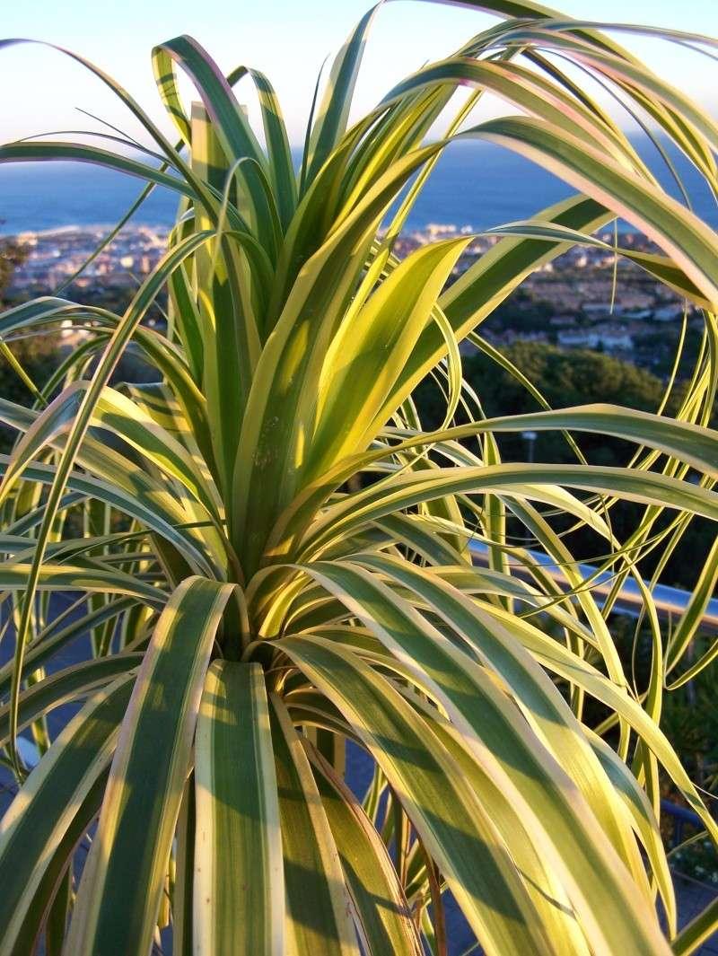 Beaucarnea variegata - variegated beaucarnea 100_0730