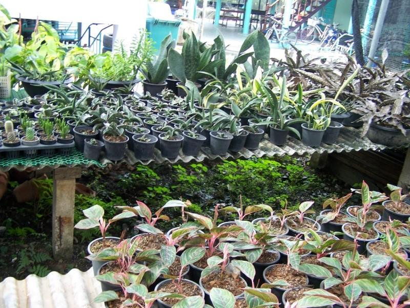 Pépinière en Thaïlande 2_2911