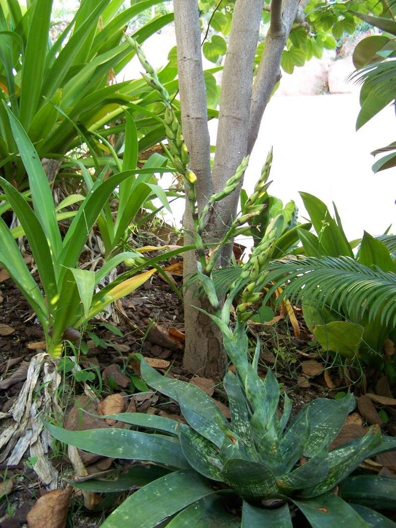 Vriesea gigantea A_00411