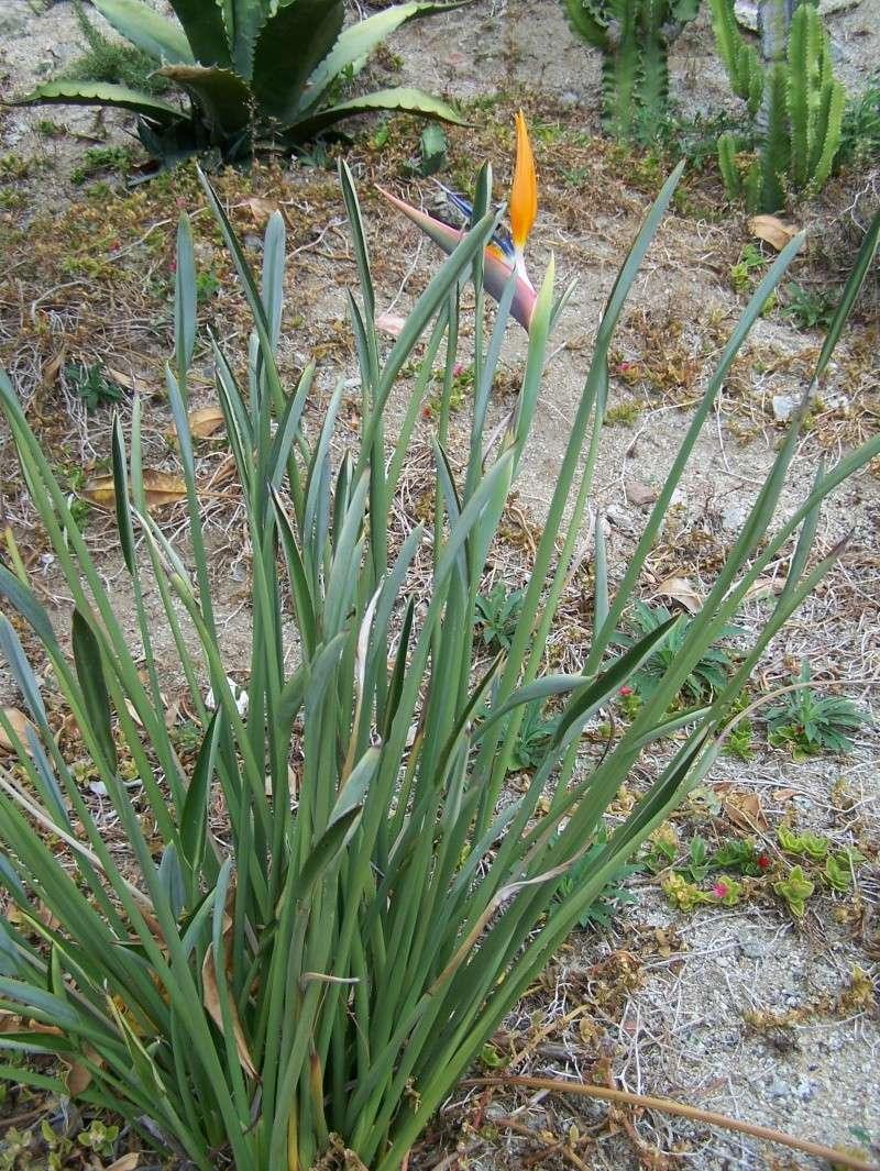Strelitzia parviflora A_00517