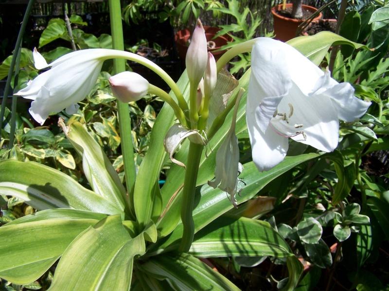 Crinum moorei medio picta (variegata) A_011_10