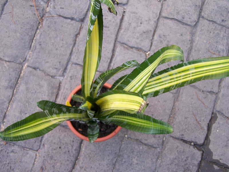Aechmea fasciata medio picta (variegata) Aechme11