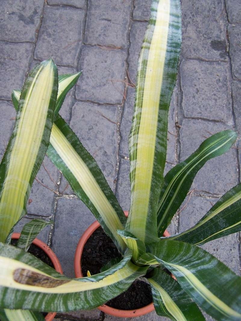 Aechmea fasciata medio picta (variegata) Aechme13