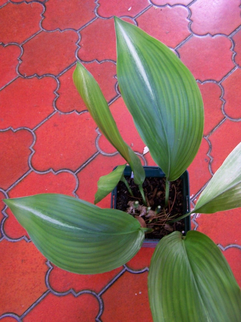 Aspidistra, autres cultivars et variétés Aspidi10