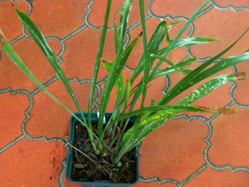 Aspidistra, autres cultivars et variétés Aspidi13