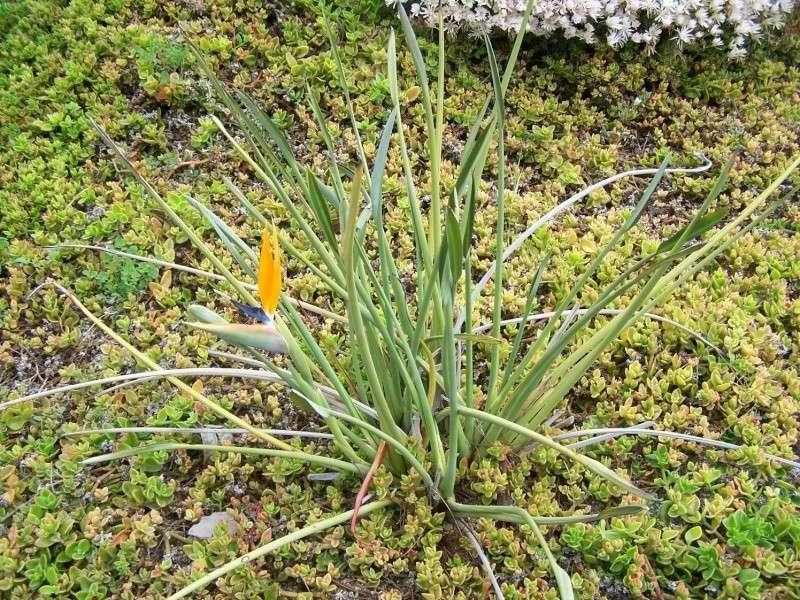 Strelitzia reginae, floraison Streli10