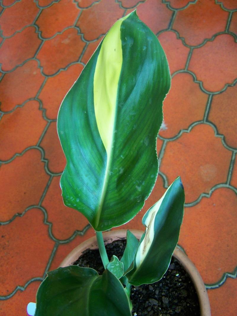 Variegated strelitzia reginae - Strelitzia reginae à feuilles panachées Streli14