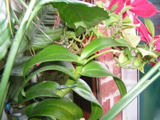 Nouvelle hampe florale : dendrobium Pict0313